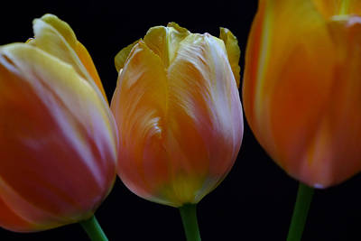 Photograph - Tulip Trio by August Timmermans