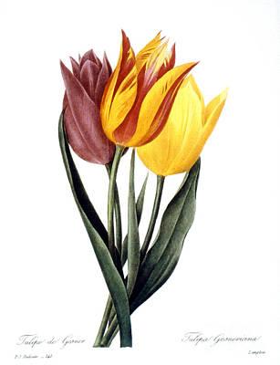 Tulip (tulipa Gesneriana) Art Print by Granger