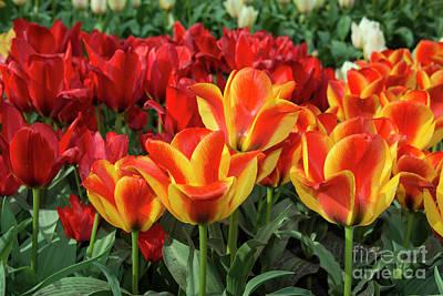 Tulip Vibrance  Art Print by Rob Hawkins