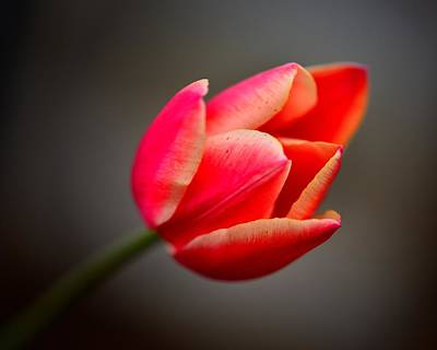 Photograph - Tulip by Walt Sterneman