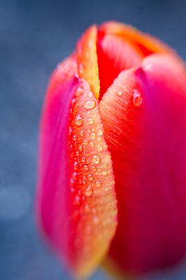 Tulip With Morning Dew 2 Art Print by Edward Myers