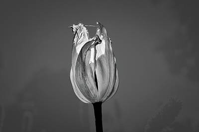 Photograph - Tulip Yellow On Blue Bw #h6 by Leif Sohlman