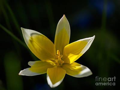 Photograph - Tulipa Tarda In Evening Light by Ismo Raisanen