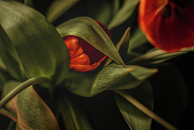 Photograph - Tulipdoir by Valerie Rosen