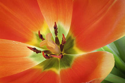Photograph - Tuliplicious 2 by Jill Love