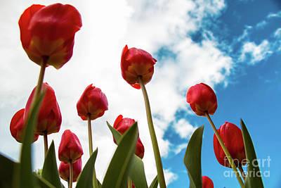 Photograph - Tulips 17.1 by Stefano Carini