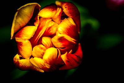 Tulips Photograph - Tulips 3 by Jijo George
