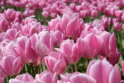 Tulips 7 Original by Julius Reque