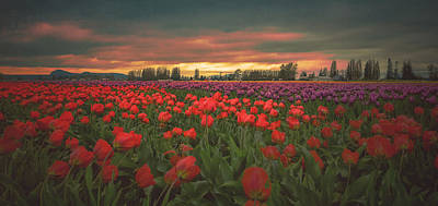 Photograph - Tulips Aglow by Don Schwartz