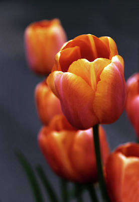 Photograph - Tulips Aglow by Jessica Jenney