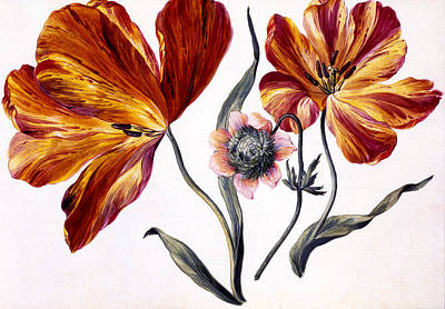Tulips Drawing - Tulips And Anenome by Claude Aubriet