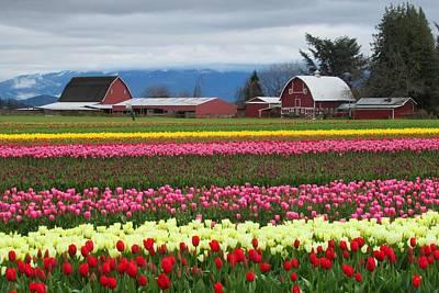Photograph - Tulips And Barns by Karen Molenaar Terrell