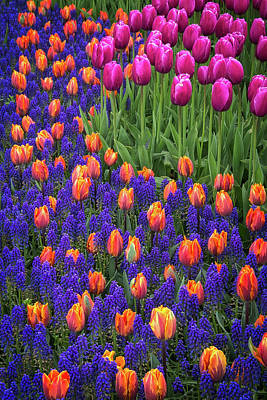 Photograph - Tulips And Blue Hyacinths by Roger Mullenhour