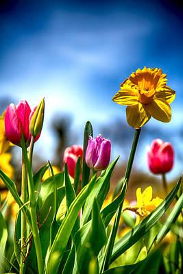 Blue Ridge Photograph - Tulips And Daffodils by John Haldane