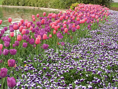 Furman Photograph - Tulips And Pansies by Gordon Taylor
