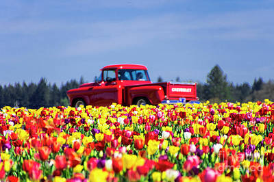Tulips And Red Chevy Truck Art Print