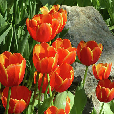Photograph - Tulips And Rock by PJ Boylan