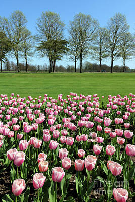 Photograph - Tulips And Trees At Hampton Court by Julia Gavin