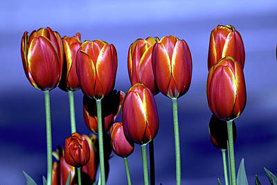 Photograph - Tulips At Attention by Sheldon Bilsker