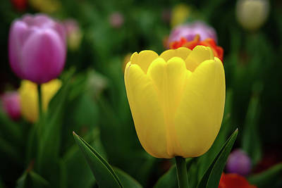 Photograph - Tulips At Campus by Monte Stevens