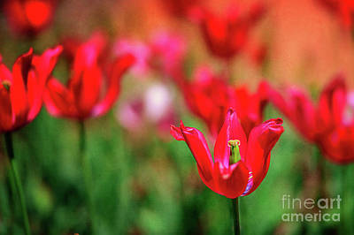Photograph - Tulips At Honor Heights by Tamyra Ayles