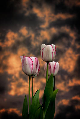 Photograph - Tulips At Sunset by John Haldane
