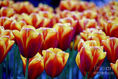 Photograph - Tulips At Sunset by Michael Cinnamond