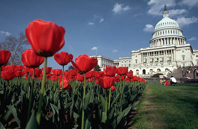 Tulips At The Capitol Art Print by Carl Purcell