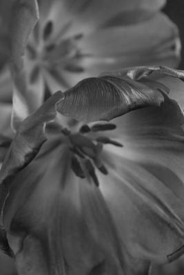 Photograph - Tulips Backlit by Stephanie Maatta Smith