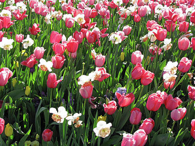 Photograph - Tulips - Beauty In Bloom 05 by Pamela Critchlow