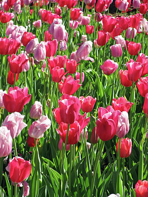 Photograph - Tulips - Beauty In Bloom 07 by Pamela Critchlow