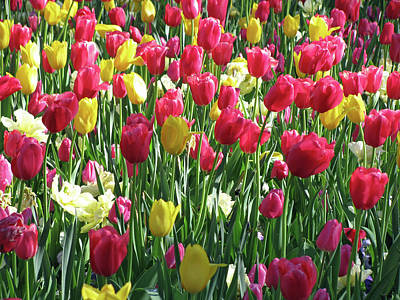 Photograph - Tulips - Beauty In Bloom 10 by Pamela Critchlow