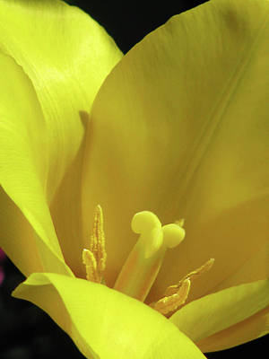 Photograph - Tulips - Beauty In Bloom 32 by Pamela Critchlow