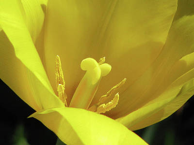 Photograph - Tulips - Beauty In Bloom 35 by Pamela Critchlow