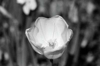 Photograph - Tulips - Beauty In Bloom - Bw Infrared Sfx 06 by Pamela Critchlow
