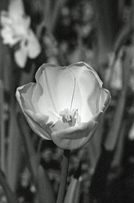 Photograph - Tulips - Beauty In Bloom - Bw Infrared Sfx 07 by Pamela Critchlow