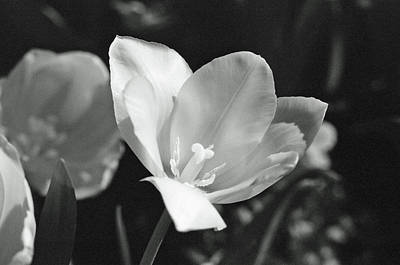 Photograph - Tulips - Beauty In Bloom - Bw Infrared Sfx 09 by Pamela Critchlow