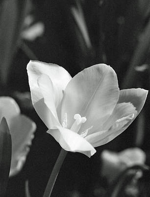 Photograph - Tulips - Beauty In Bloom - Bw Infrared Sfx 11 by Pamela Critchlow