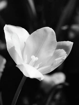 Photograph - Tulips - Beauty In Bloom - Bw Infrared Sfx 12 by Pamela Critchlow