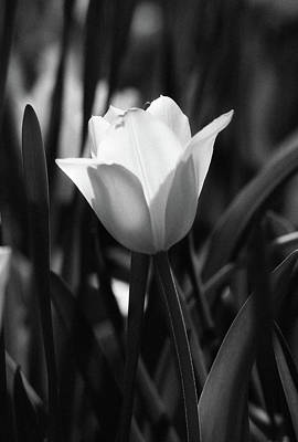 Photograph - Tulips - Beauty In Bloom - Bw Infrared Sfx 14 by Pamela Critchlow
