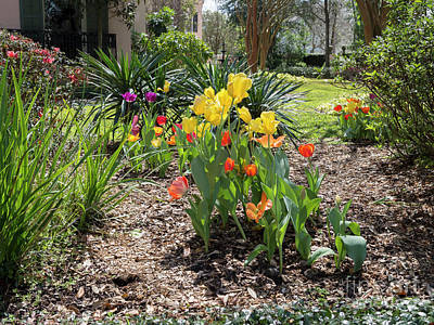 Photograph - Tulips Bloom In A Garden Of A Mansion In The Garden District New Orleans by Louise Heusinkveld