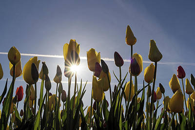 Farmland Photograph - Tulips Blooming With Sun Star Burst by David Gn