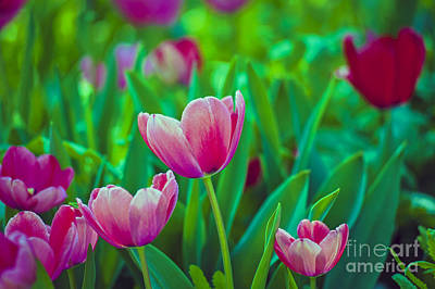 Photograph - Tulips Close Up by David Zanzinger