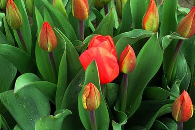 Photograph - Tulips Close Up by Karen Molenaar Terrell