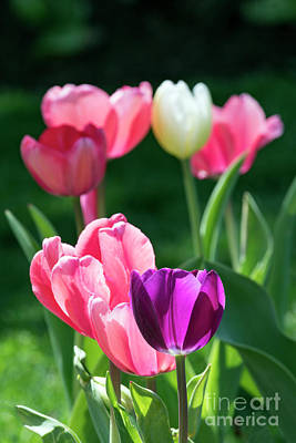 Photograph - Tulips - D010363 by Daniel Dempster
