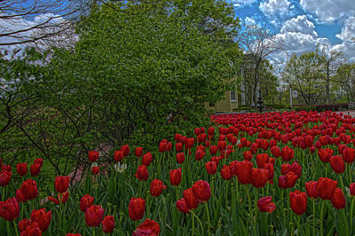 Winter Animals Rights Managed Images - Tulips Royalty-Free Image by Daniel Houghton