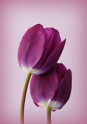 Photograph - Tulips by Diane Reed