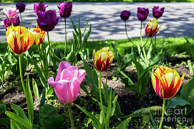 Photograph - Tulips  by Doc Braham