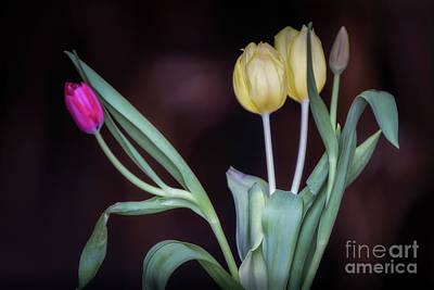 Antwerpen Photograph - Tulips by Doug Sturgess