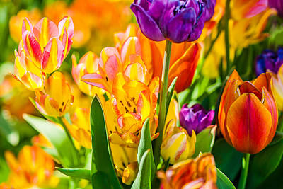 Tulips Enchanting 01 Print by Alexander Senin